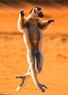 BBC:马达加斯加狐猴