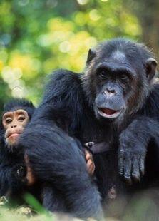 BBC:危险中的猿